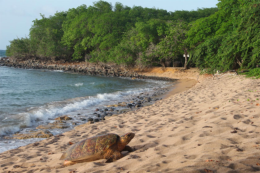 plage tortue guadeloupe